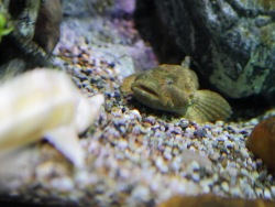 Small freshwater predator settles in at the Aquarium